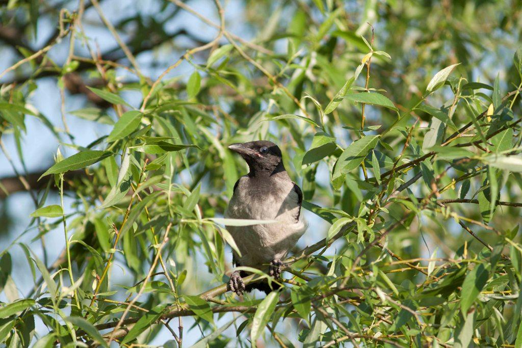 серый воронёнок (1)