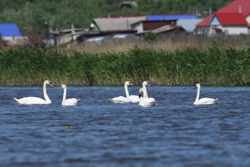 Вчерашние лебеди-шипуны (Красная книга Ульяновской области)