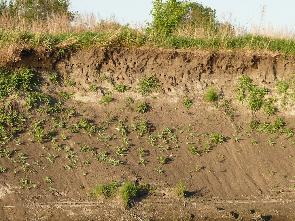 Колония ласточек-береговушек