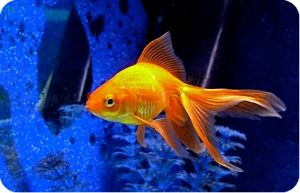 zolotye-rybki-3-e1511864462632